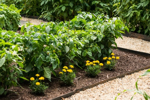 Did you know that you can plant annual flowers within your vegetable garden?