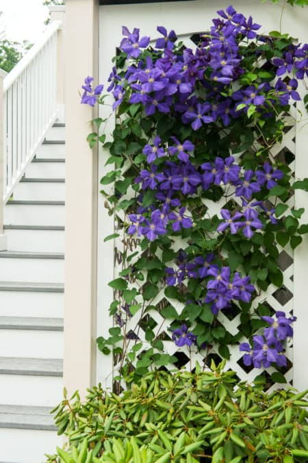 plant of the week clematis 39 jackmanii 39. Black Bedroom Furniture Sets. Home Design Ideas