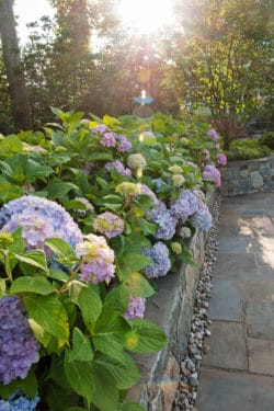 D & A Dunlevy Landscapers Hydrangea