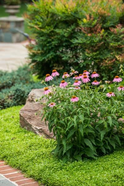 Plant Of The Week Echinacea Powwow Wild Berry