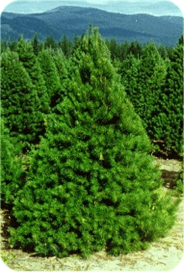 Scotch Pine D & A Dunlevy Landscapers